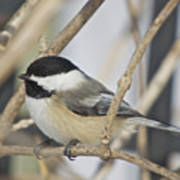 Chickadee-5 Poster by Robert Pearson