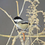 Chickadee-8 Poster by Robert Pearson