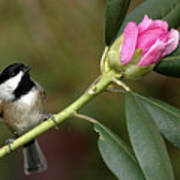 Chickadee By Rhododendron Bud Poster