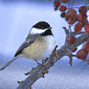 Chickadee With Craquelure Poster