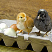 Chicks And Eggs Poster