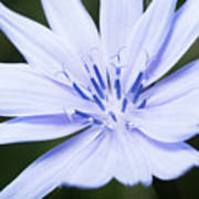 Chicory Poster