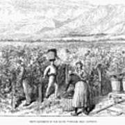 Chile: Wine Harvest, 1889 Poster