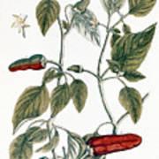 Chili Pepper, 1735 Poster