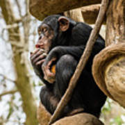 Chimpanzee, Nc Zoo Poster