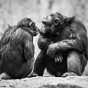 Chimpanzee Pair Poster