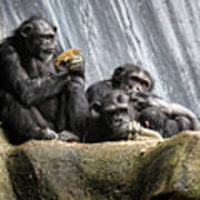 Chimpanzee Snacking On A Sunflower Poster
