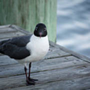 Chincoteague Island - Great Black-headed Gull Poster