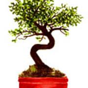 Chinese Elm Bonsai Tree Poster