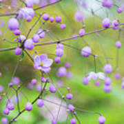 Chinese Meadow Rue Flowers Opening Poster