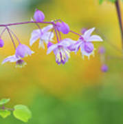 Chinese Meadow Rue Poster