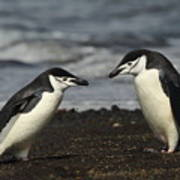 Chinstrap Penguin Duo Poster
