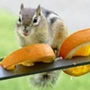 Chipmunk And Oranges 2 Poster