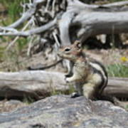 Chipmunk At Yellowstone Poster