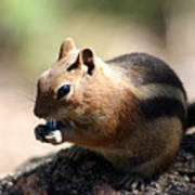 Chipmunk Eating A Piece Of Blue Candy Poster