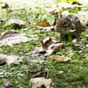 Chipmunk Getting Ready For Winter Poster