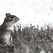 Chipmunk In Black And White Poster