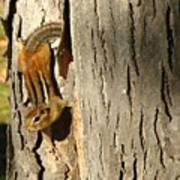 Chipmunk In Fall Poster