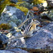 Chipmunk On The Rocks Poster