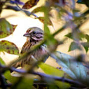 Chipping Sparrow In The Brush Poster