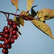 Choke Cherry Poster