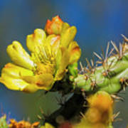 Cholla Flower H40 Poster