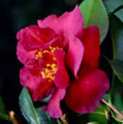 Christmas Camellia Poster