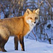 Christmas Fox Poster