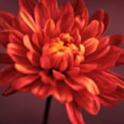 Chrysanthemum 7 Poster