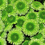Chrysanthemum Green Button Pompon Kermit Poster