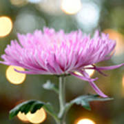 Chrysanthemum Happiness Poster