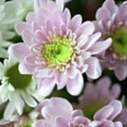 Chrysanthemum Poster