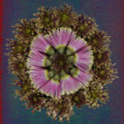 Chrysanthemum Mandala Poster