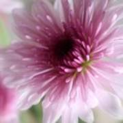 Chrysanthemum #001 Poster