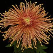 Chrysanthemum 'senkyo Kenshin' Poster