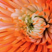 Chrysanthemum Serenity Poster
