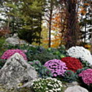 Chrysanthemums In The Garden Poster