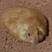 Chubby Prairie Dog Resting In A Shallow Hole Poster