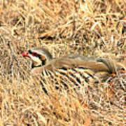 Chuckar Bird Hiding In Grass Poster