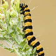 Cinnabar Moth Caterpillar Poster