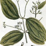 Cinnamon Tree, 1735 Poster