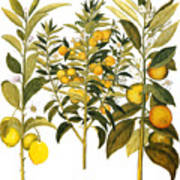 Citron And Orange, 1613 Poster
