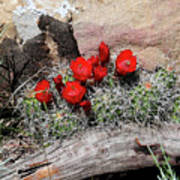 Claret Cup Cactus And Sandstone Poster