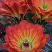 Claret Cup Cactus Flowers  Poster
