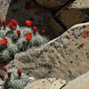 Claret Cup Cactus Nestled In Fractured Sandstone Poster