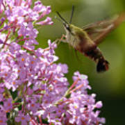 Clearwing Pink Poster