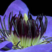 Clematis 8 Poster