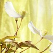 Clematis And Sunshine Poster