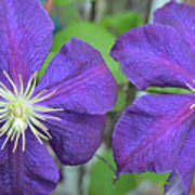 Clematis Friends Poster