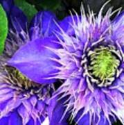 Clematis Multi Blue Poster